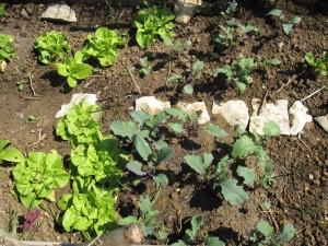 Kohlrabi und Salat