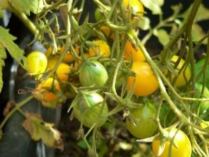 Tomate Dattelwein