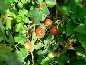 Tomate Fuzzy Wuzzy