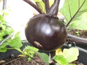 Aubergine Obsidian