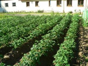 Kartoffelreihen