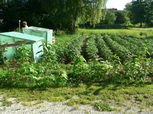 Topinambur vor dem Kartoffelfeld