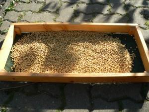 Sojabohnen